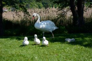 famille de cygnes au bord du lac